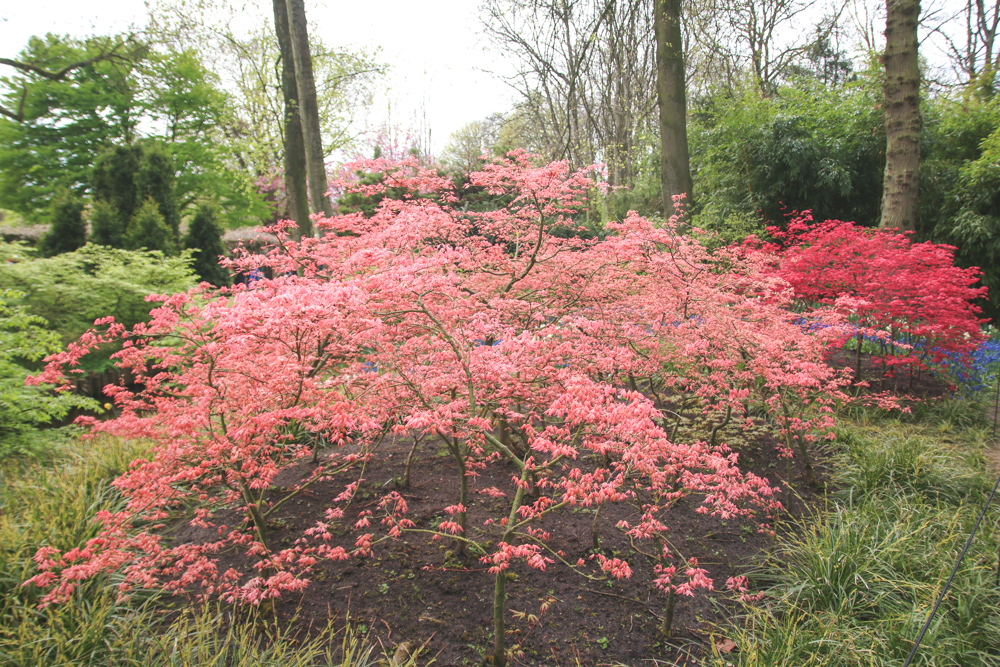 Pink Acer at Keukenhof Gardens, Holland