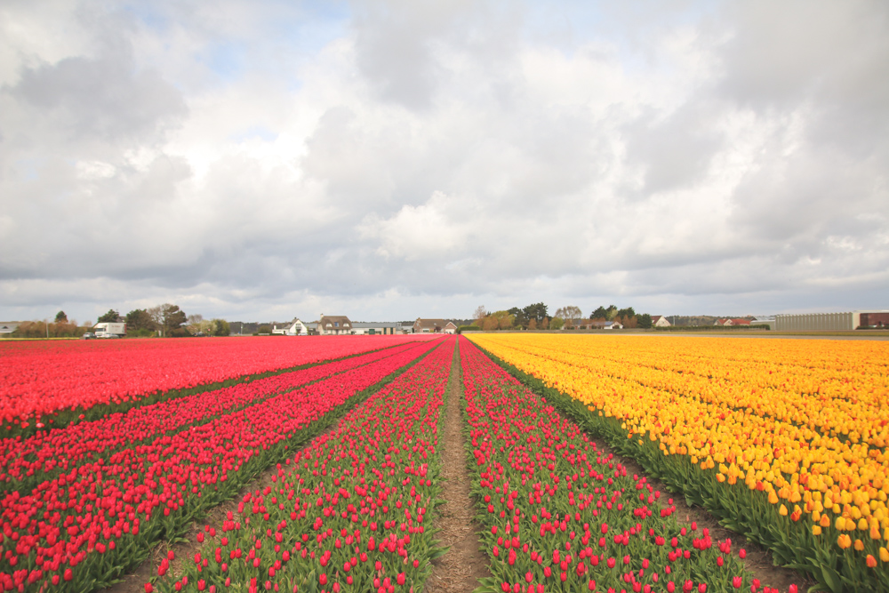 Tulip Fields in Holland, The Netherlands