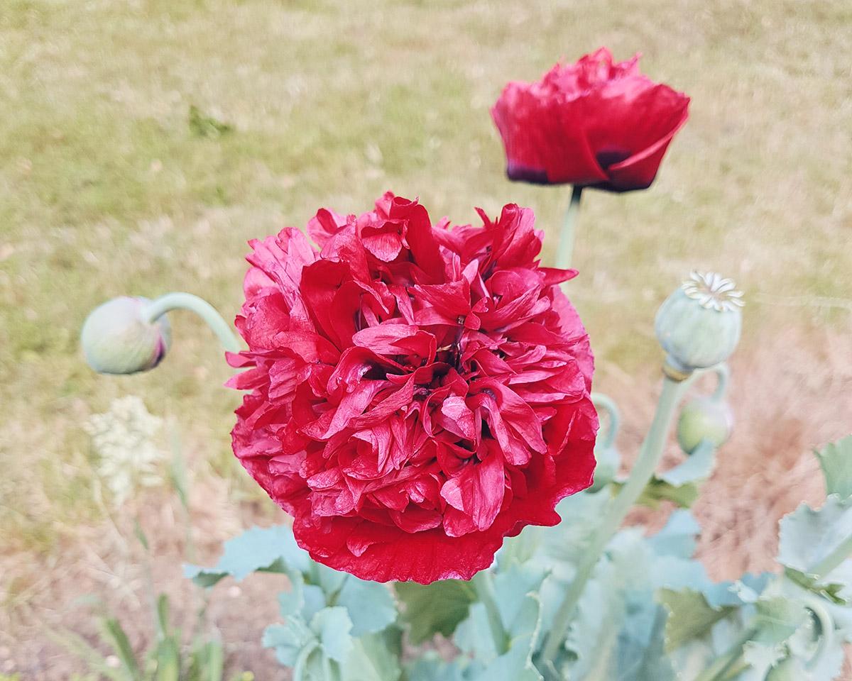 Huge Poppy