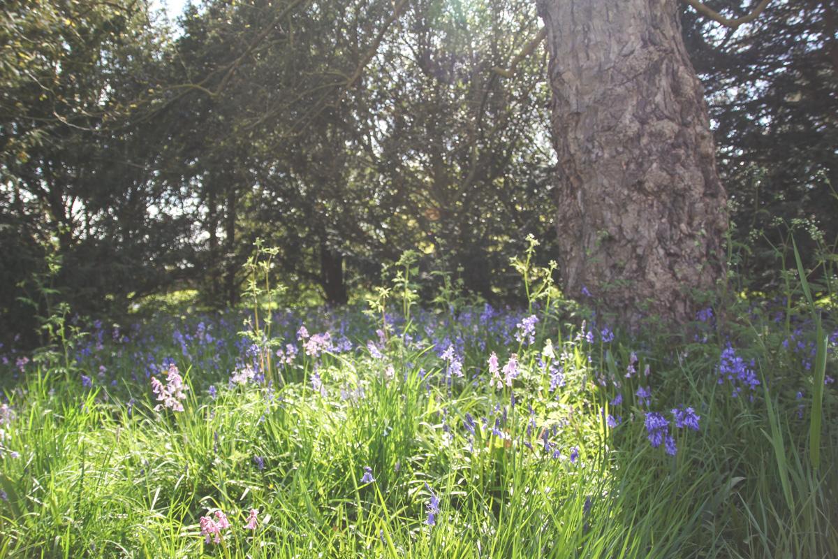 Bluebells at Blickling Estate, Norfolk