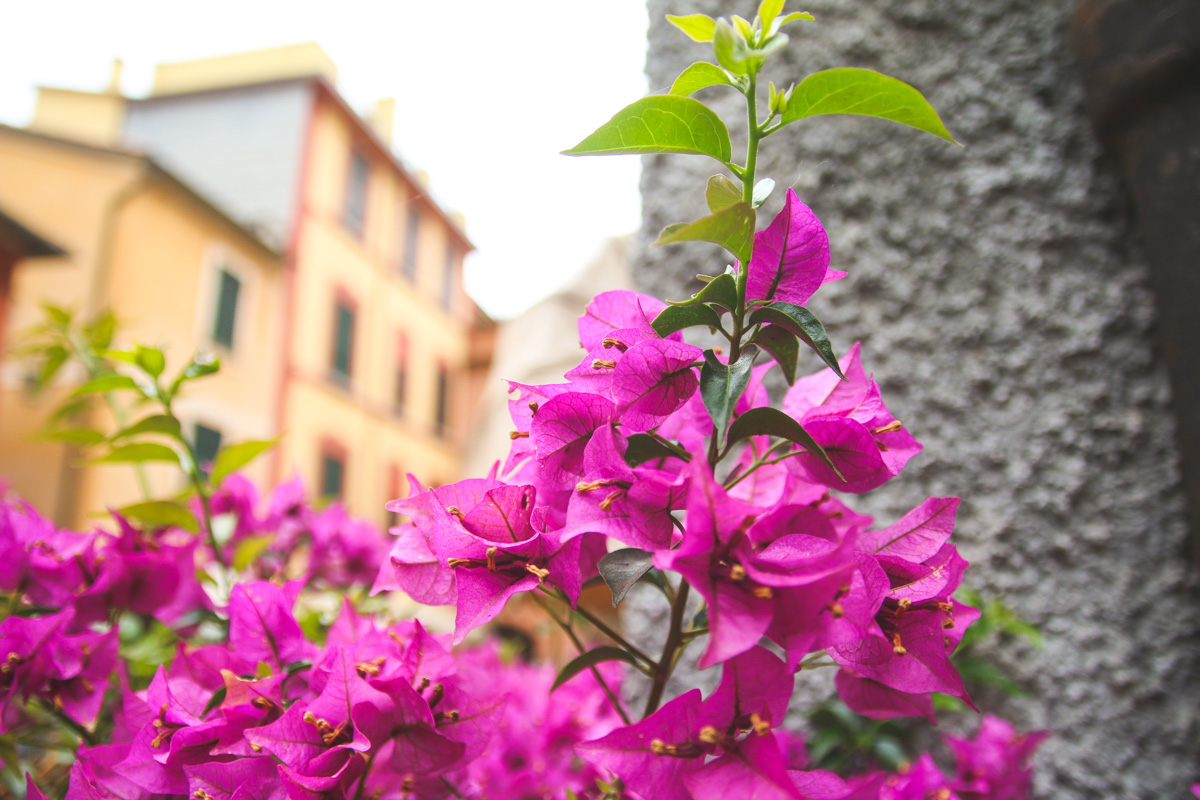 Bougainvillea Flowers in Portofino, Liguria, Italy