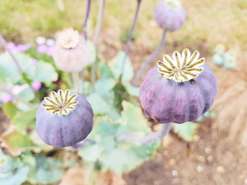 Giant Poppy Heads