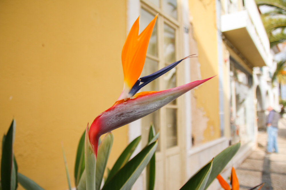Birds of Paradise Flower in Tavira, Portugal