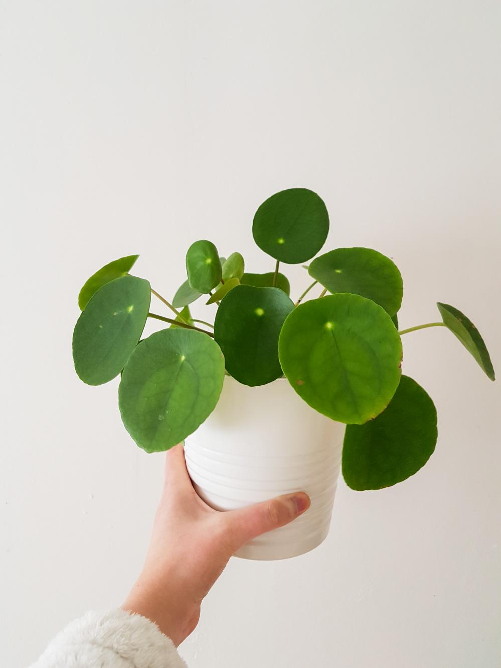 Philea plant