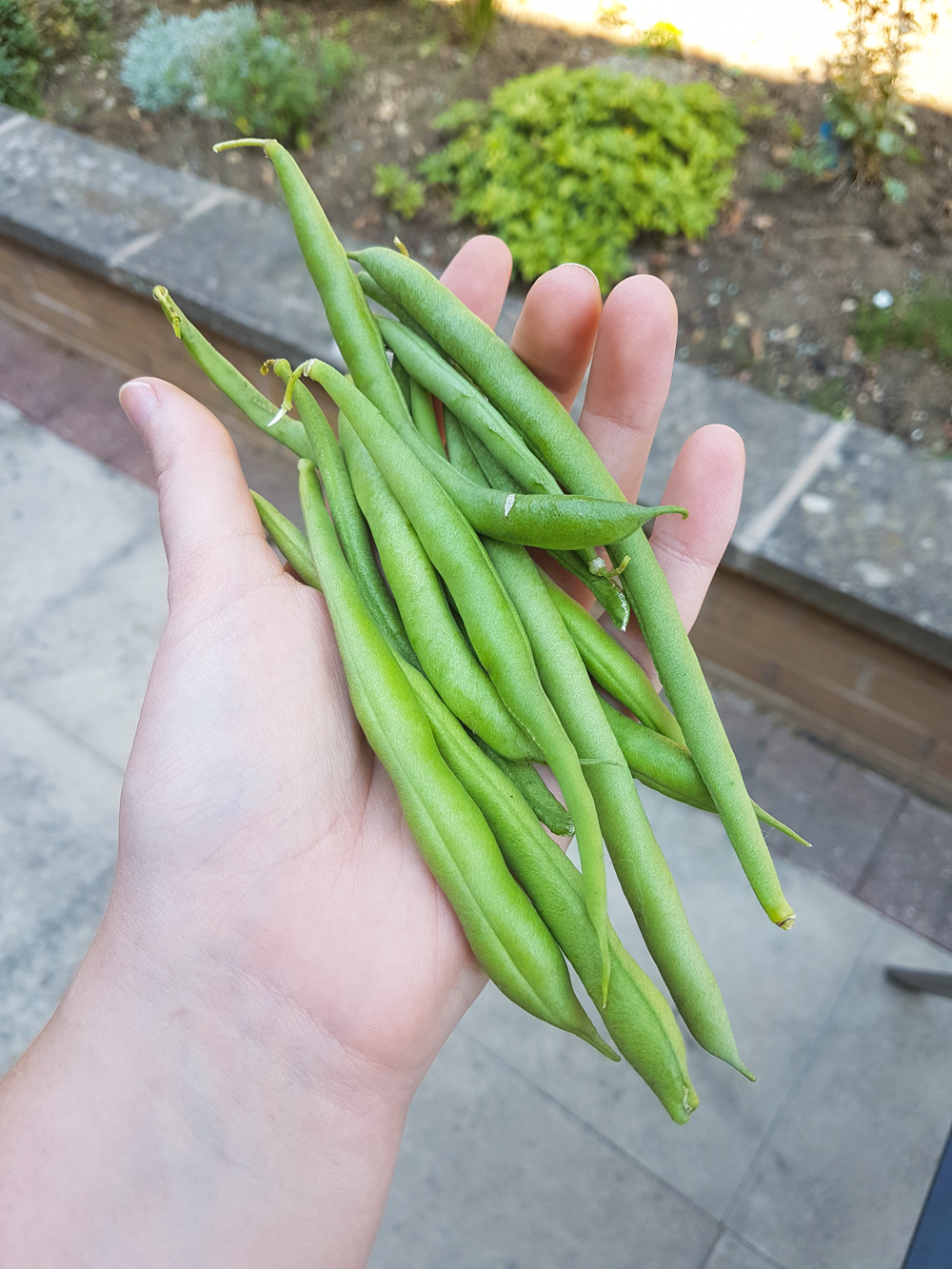 Vegetable Garden Green Beans