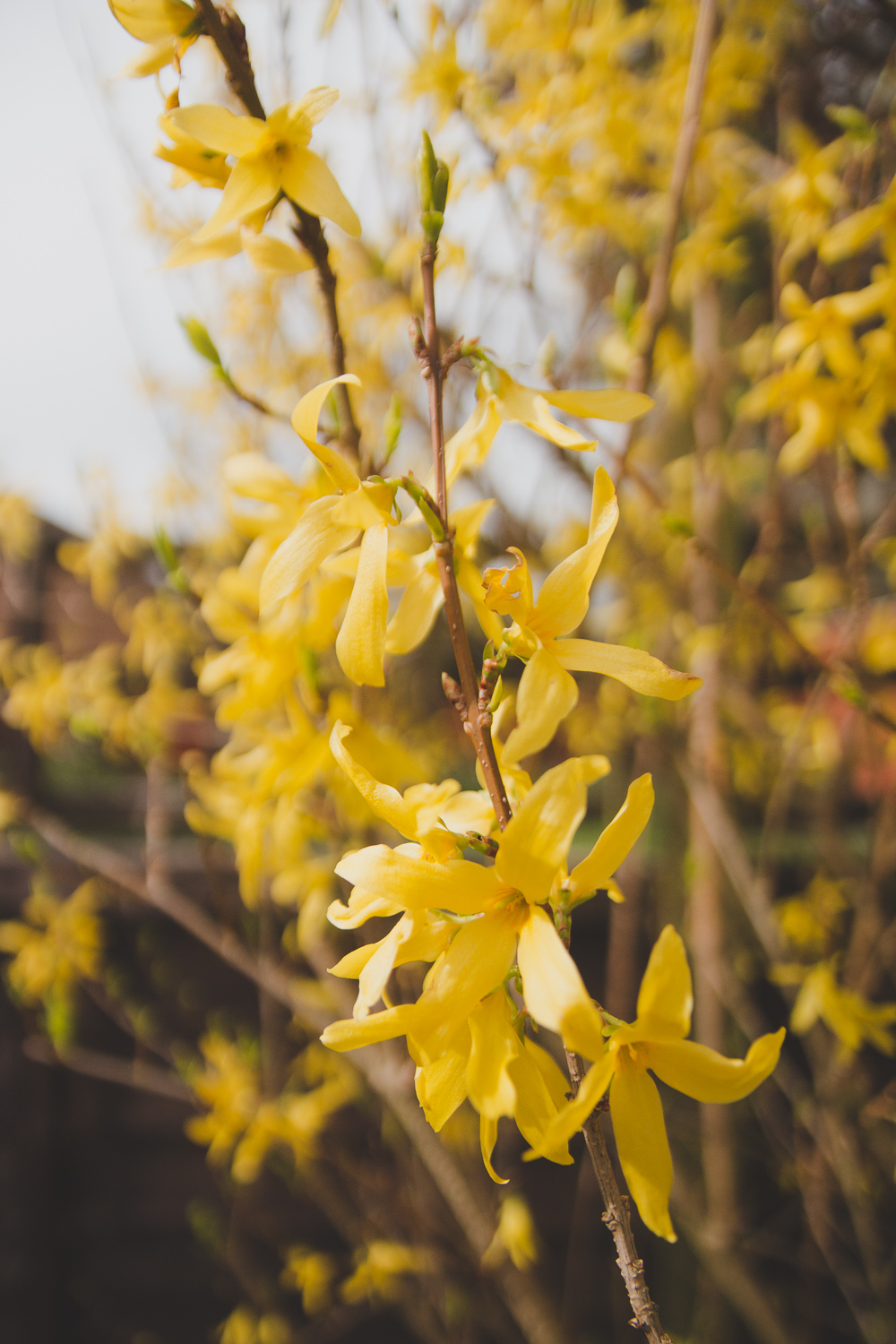 Garden Forsythia in the Spring