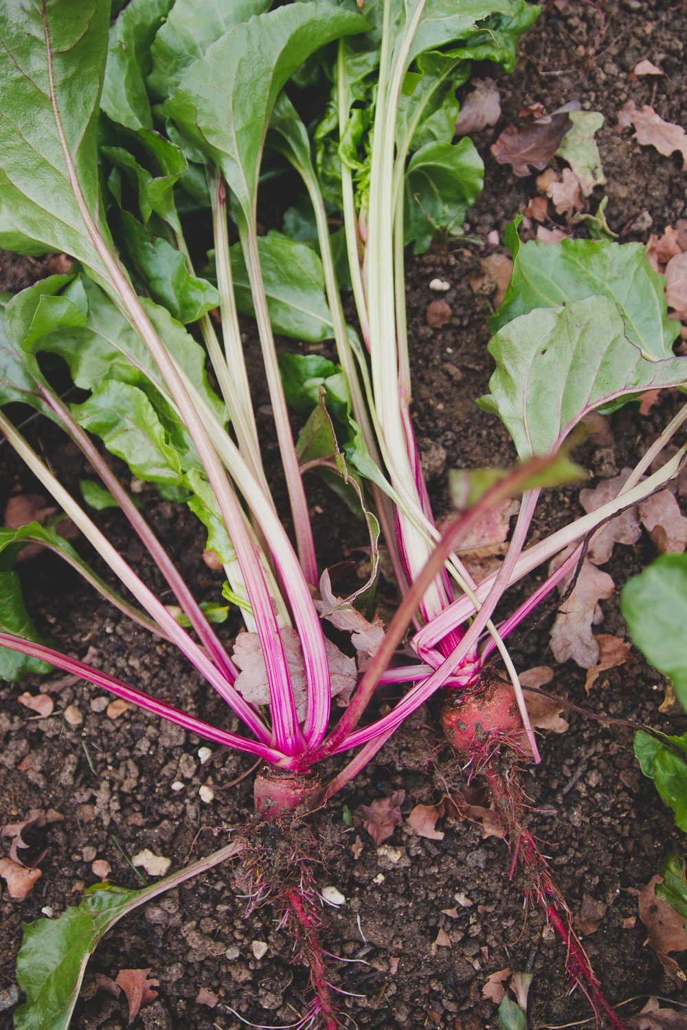 Grow Your Own - Beetroot