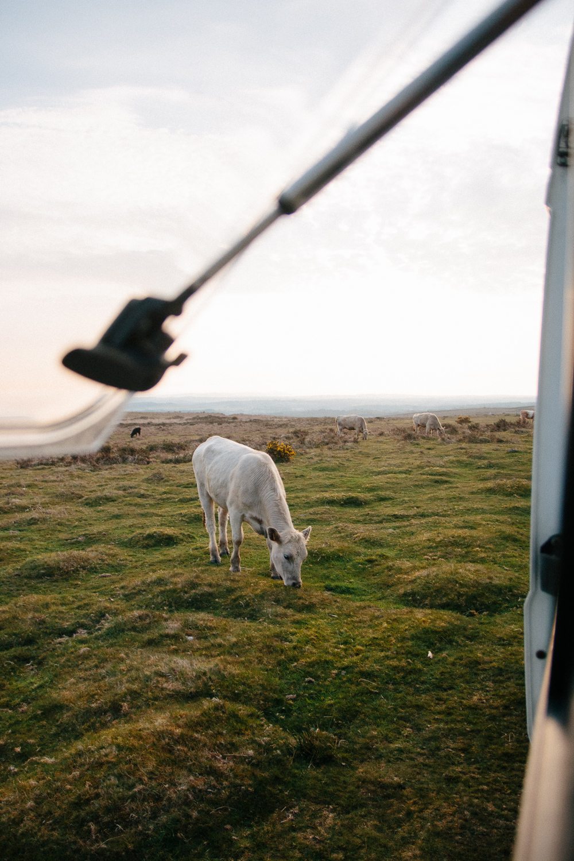 Wild Cows Near Port Eynon, Gower Peninsula