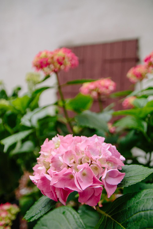 Pink Hydrangea flowers in Trento Italy