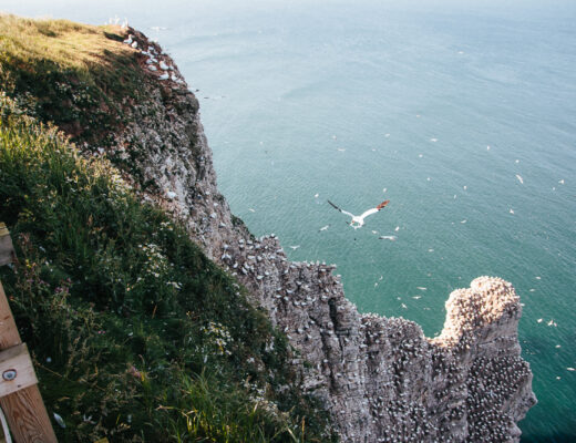 Birds on Cliffs at RSPB Bempton Cliffs in East Yorkshire
