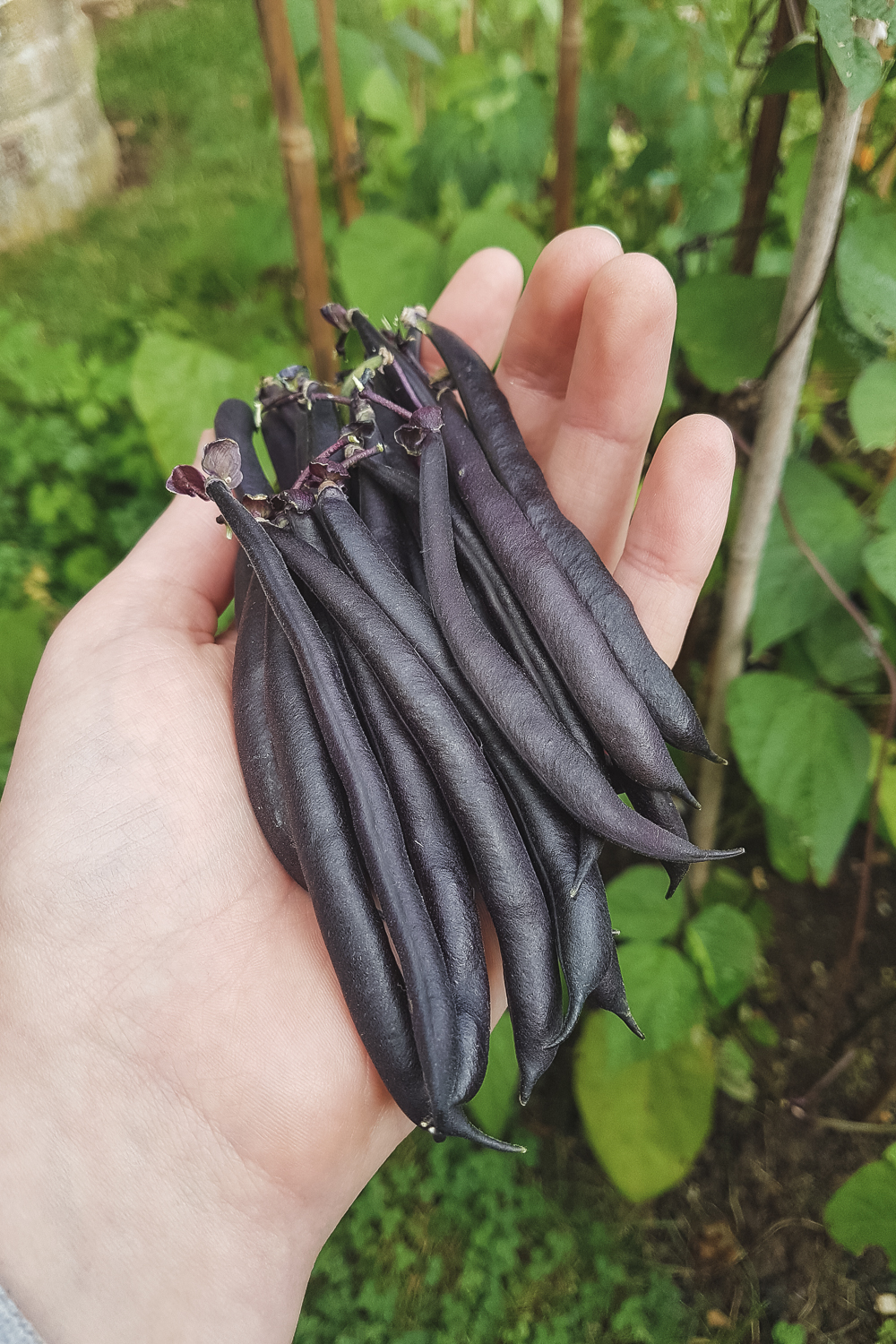 Grow Your Own Purple French Beans