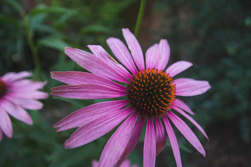 Grow Your Own Flowers Echinacea