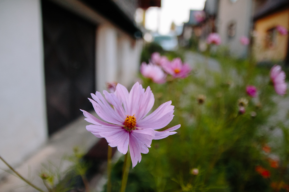 Cosmos flowers in Cicmany