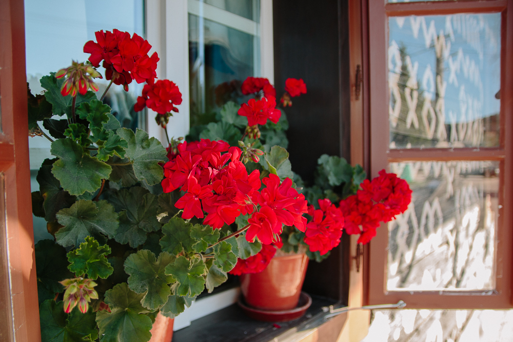 Geraniums in Cicmany