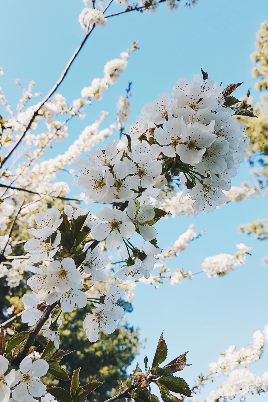 Spring Blossom with Blue Sky