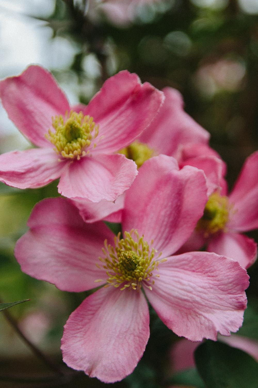 Spring Flowering Clematis
