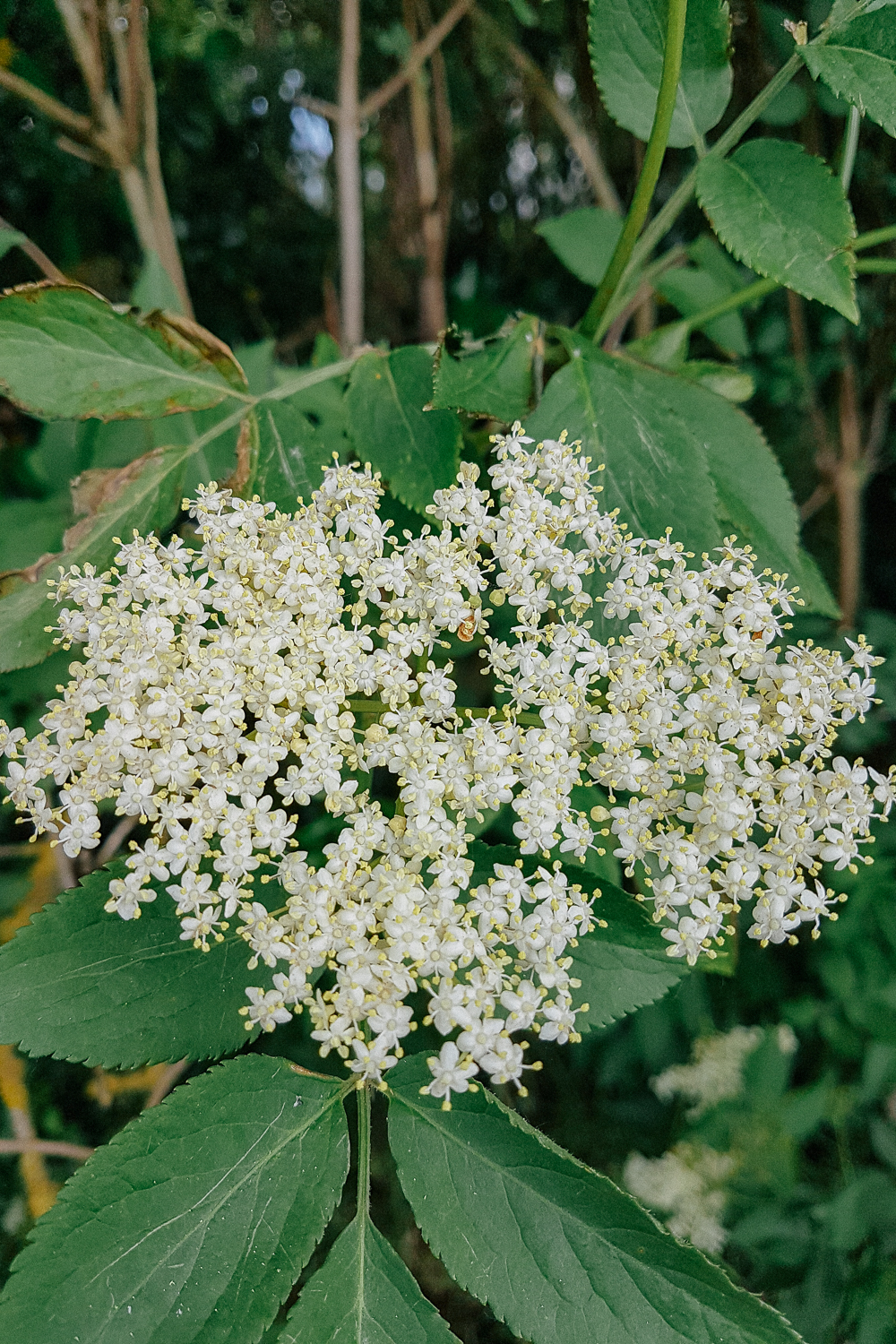 Elderflower Plant Identification