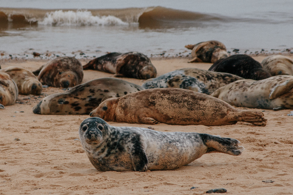 Horsey Seals in March Norfolk