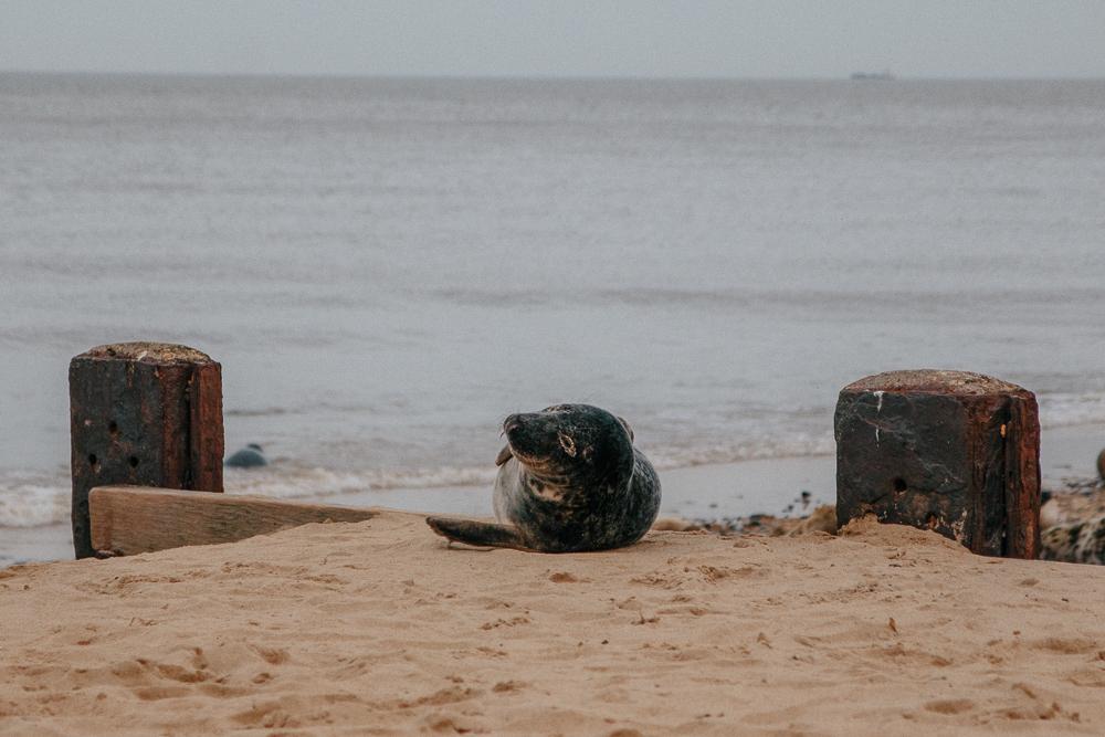 Horsey Seals in March Norfolk