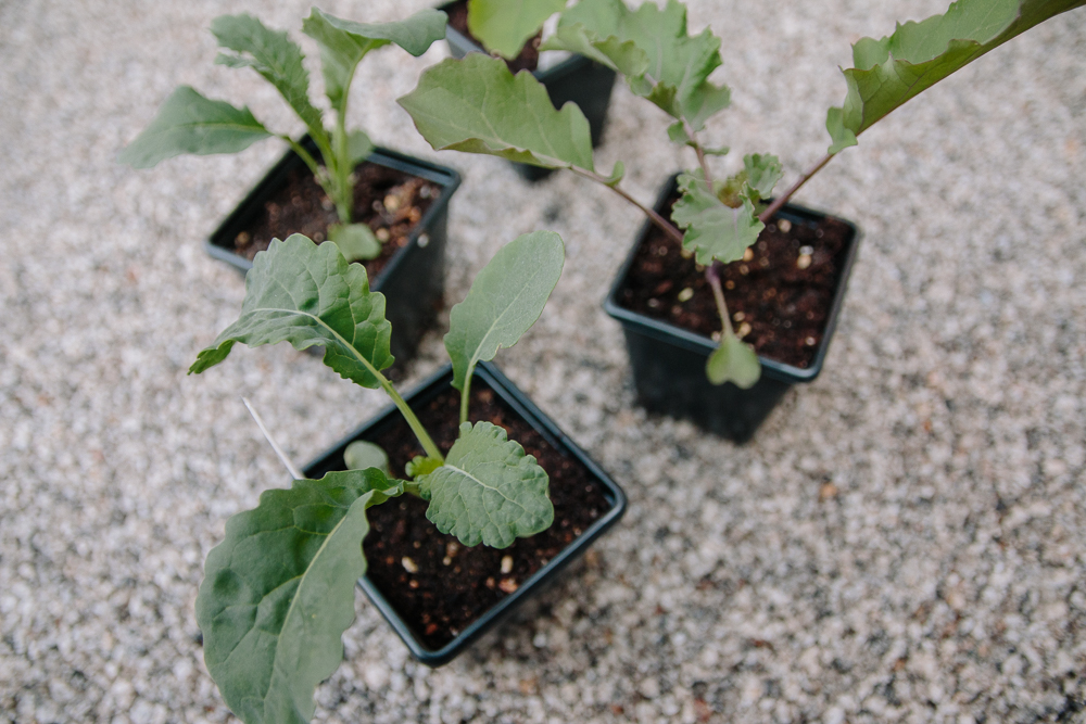 Grow Your Own - Kale + Kalettes