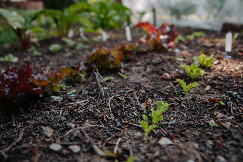 Grow Your Own - Lettuce Seedlings