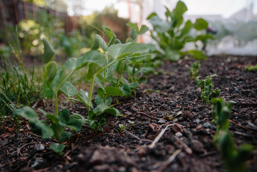 Grow Your Own - Peas