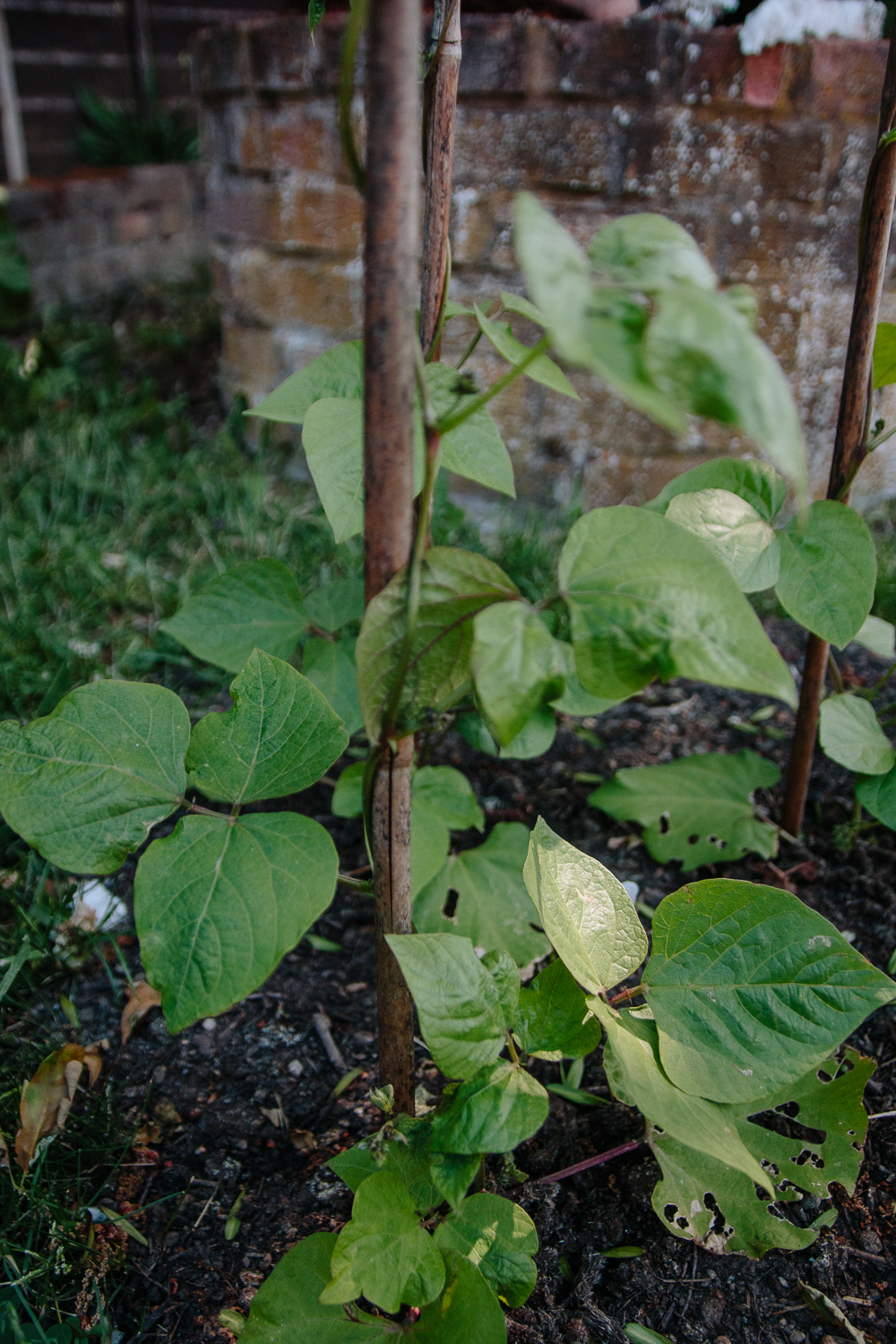 Grow Your Own - Runner Beans