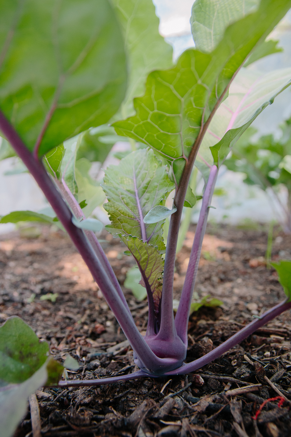 Grow Your Own - Purple Kohl Rabi