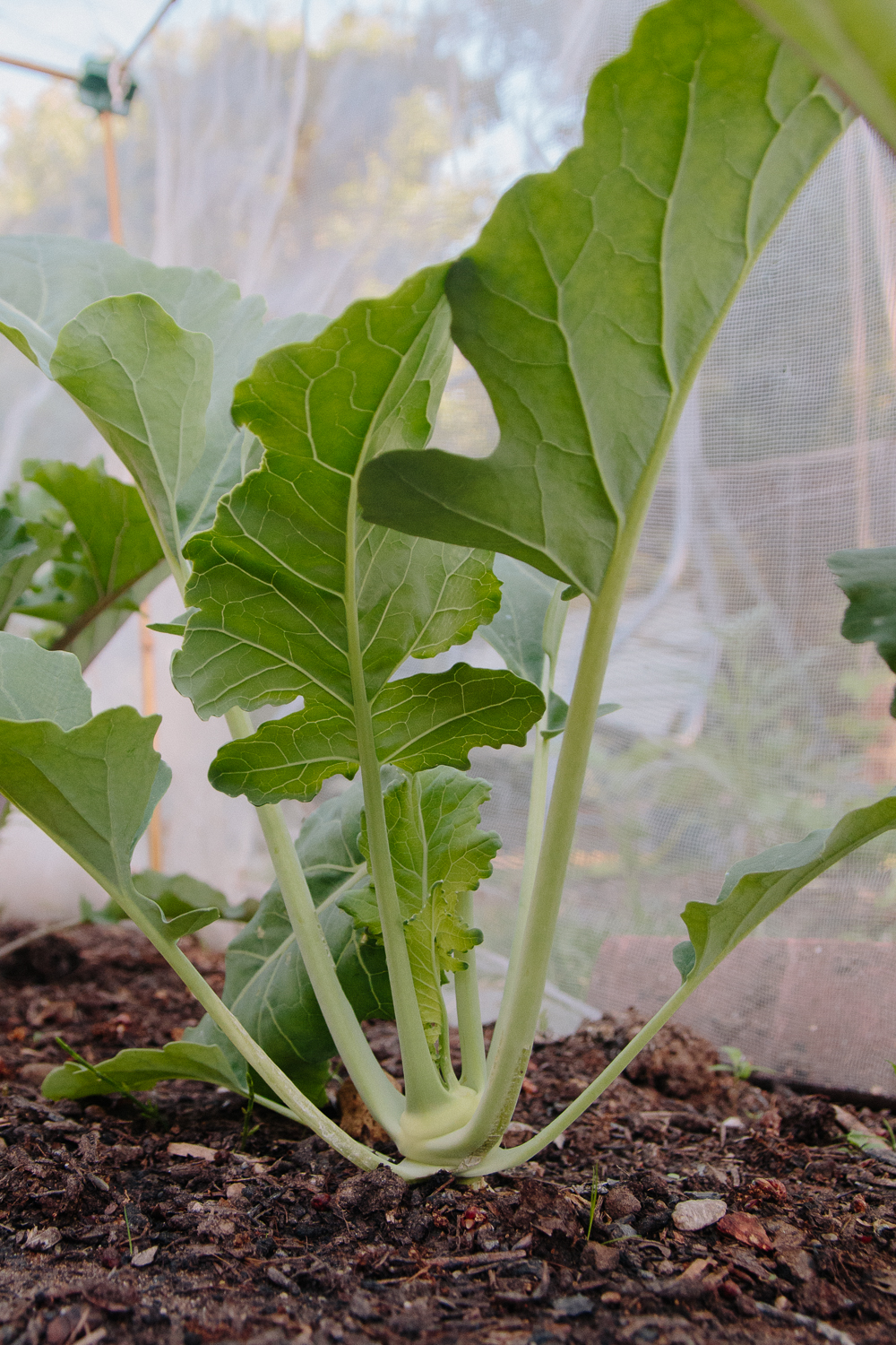 Grow Your Own - Green Kohl Rabi