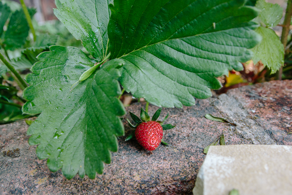 Grow Your Own - Strawberries