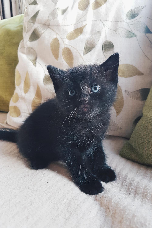 Apollo Foster Kitten