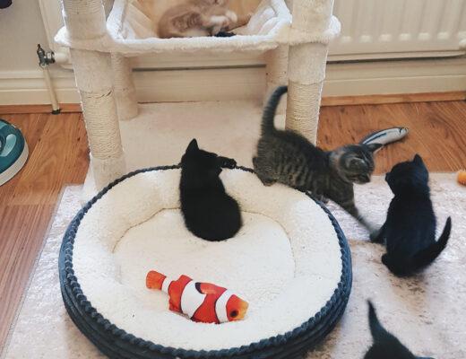 Oslo, Austin, Apollo, Orion, Nova and Phoenix Foster Kittens