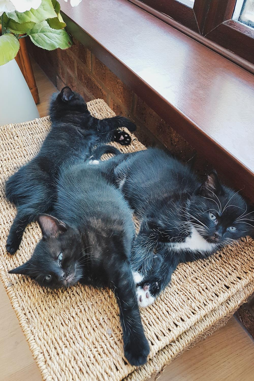 Orion, Apollo and Nova Foster Kittens