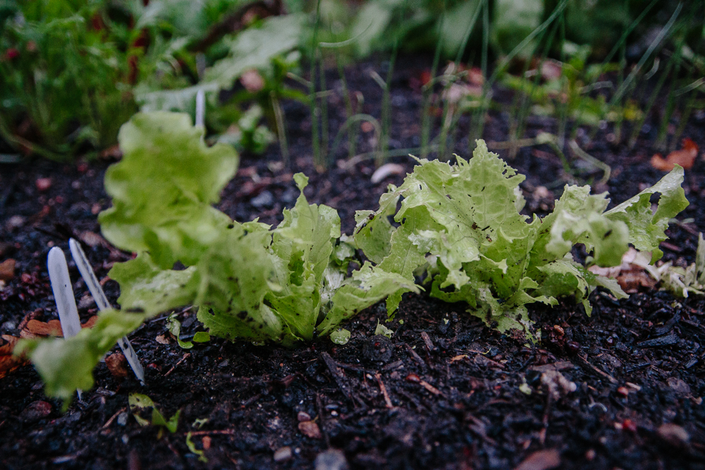 Slug Eaten Lettuce Vegetable Garden