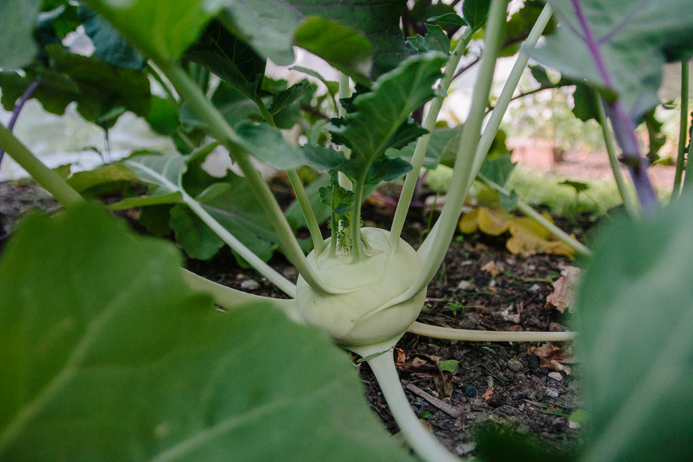 Green Kohl Rabi Vegetable Garden