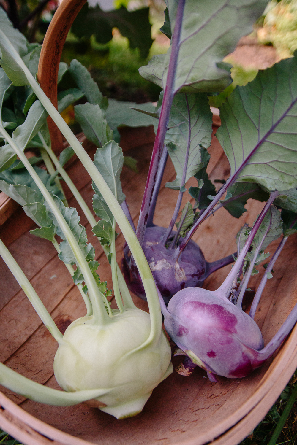 Purple and Green Kohl Rabi Vegetable Garden