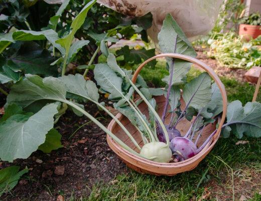Purple and Green Kohl Rabi Vegetable Garden