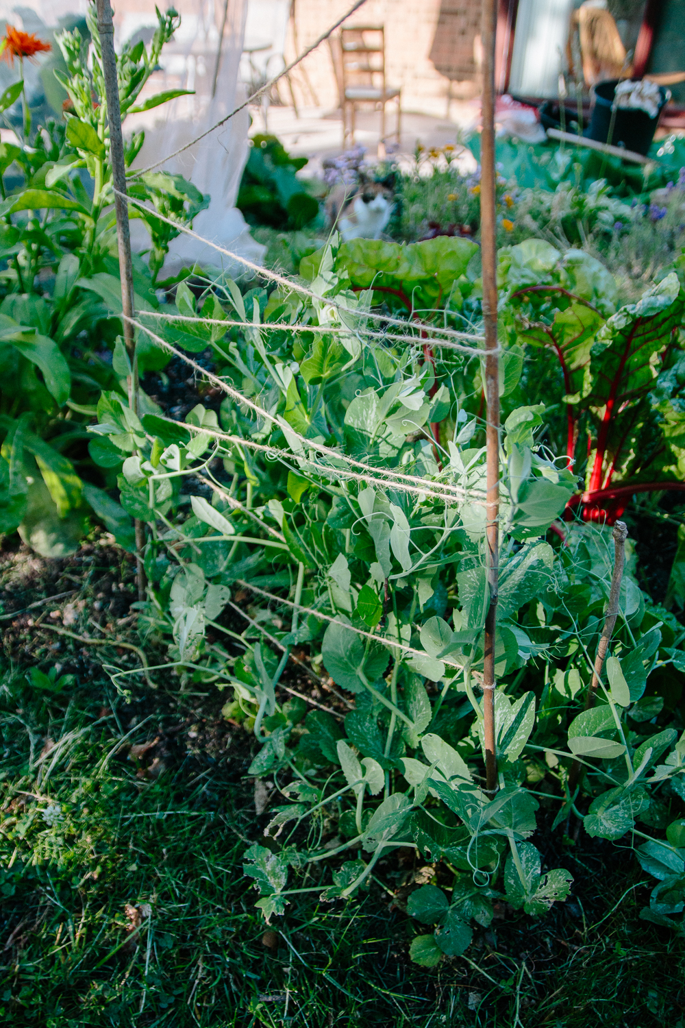 Peas Vegetable Garden