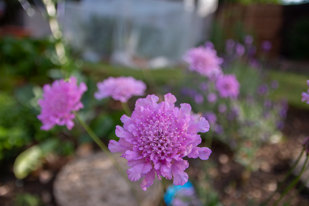 Purple Scabious