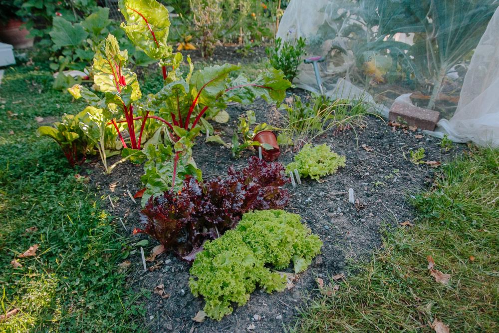 Lettuce Vegetable Garden