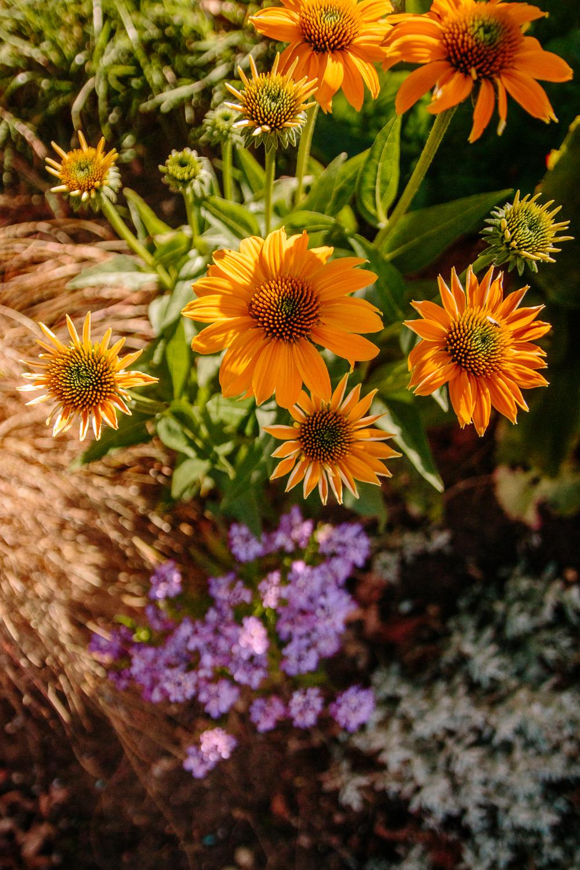 Yellow Echinacea and Tutti Frutti Flowers