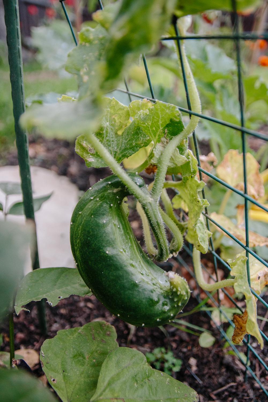 Cucumber Burpless Tasty