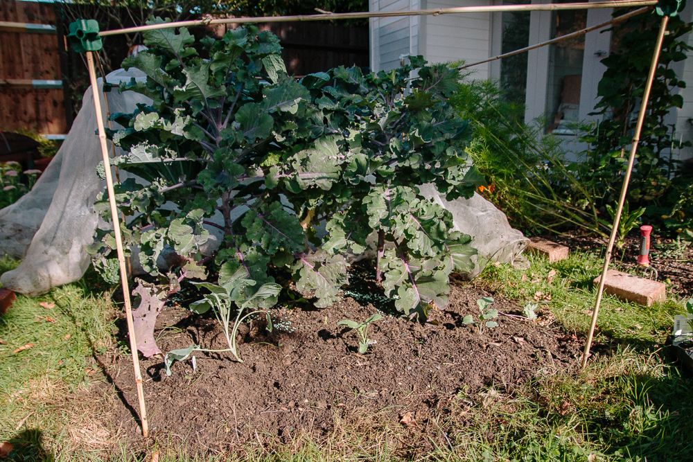 Brassica bed with kale, kalettes and purple sprouting broccoli seedlings