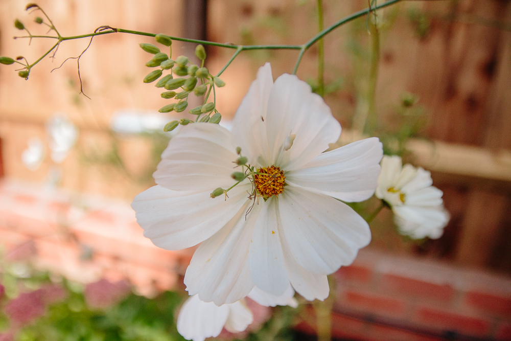 Cosmos Purity