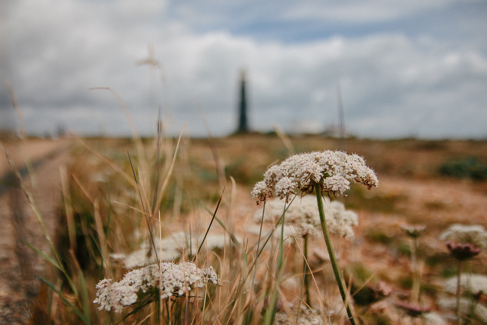 Cow Parsley Flowers at Dungeness Old Lighthouse in Kent