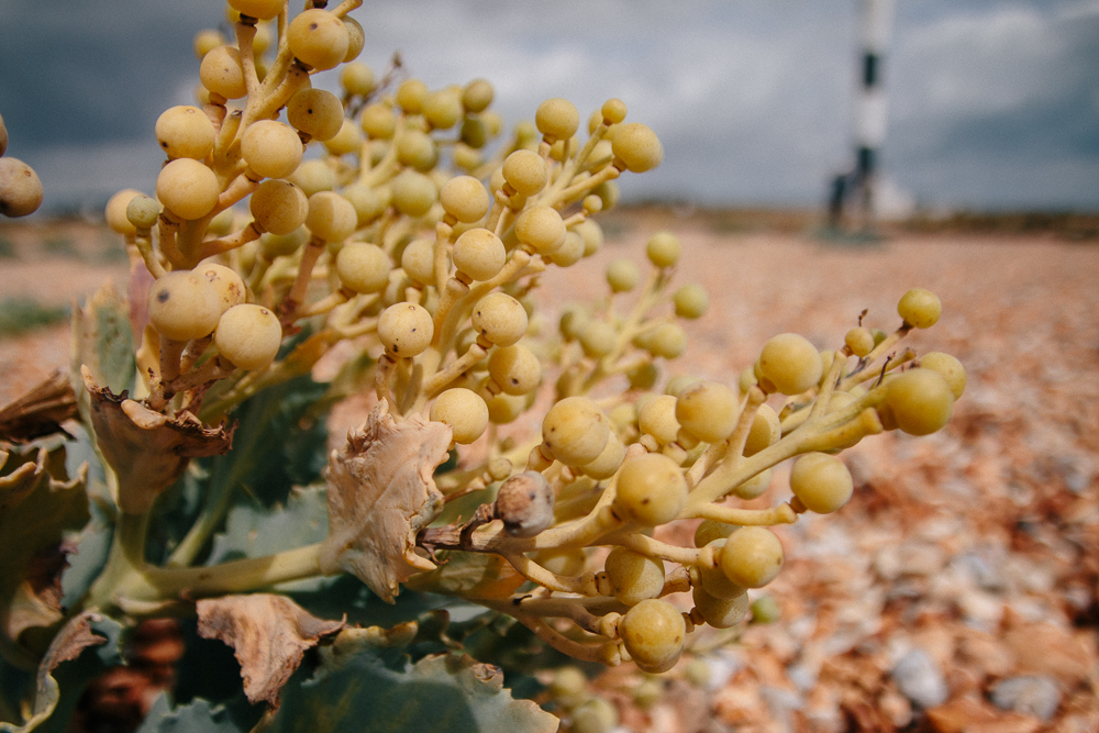 Sea Kale Flowers at Dungeness in Kent