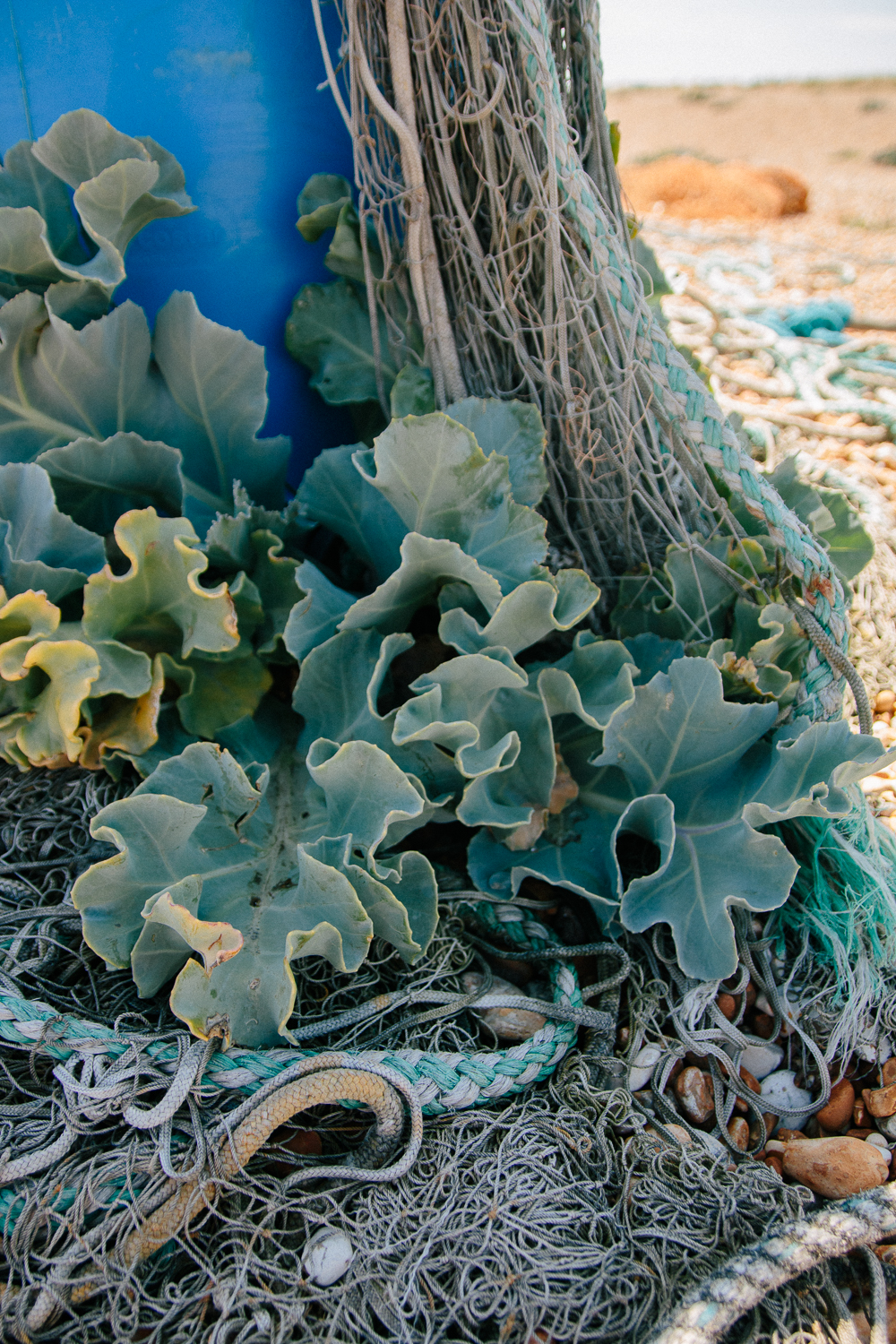 Sea Kale Growing in Abandoned Fishing Nets at Dungeness Nature Reserve in Kent