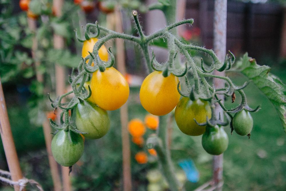 Ildi Tomatoes Yellow