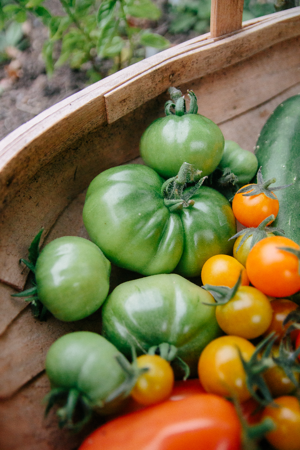 Green Tomatoes Harvest